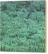 100134 Uluhe Ferns Hawaii Wood Print