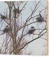 100408-2  Nesting Great Blue Herons Wood Print