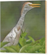 11- Cattle Egret Wood Print