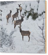 Elk In Deep Snow In The Pike National Forest Wood Print