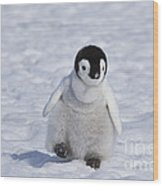 Emperor Penguin Chick Wood Print