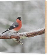 Eurasian Bullfinch In Winter Wood Print