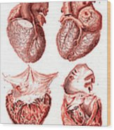 Heart, Anatomical Illustration, 1814 Wood Print