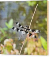 12 Spotted Skimmer Dragonfly 2 Wood Print