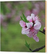 Blossoming Peach Flowers  Closeup Wood Print
