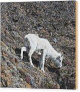 Dahl Sheep, Turnigan Arm Wood Print
