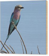 Lilac Breasted Roller On Alert Wood Print
