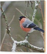Eurasian Bullfinch Wood Print