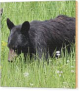American Black Bear Yellowstone Usa Wood Print