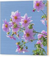 Fully Bloomed Pink Dahlia Imperialis At Garden In November Wood Print