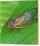17 Year Periodical Cicada Wood Print