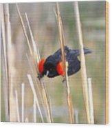 1911 - Red-winged Blackbird Wood Print