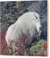 1m4900 Mountain Goat Near Mt. St. Helens Wood Print