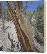 1n6956 Methuselah Tree Wood Print