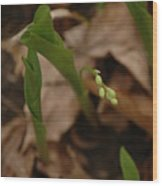 1st Lily Of Spring Wood Print