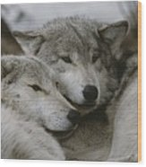 A Couple Of Gray Wolves, Canis Lupus Wood Print by Jim And Jamie Dutcher