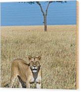 African Lioness Panthera Leo, Serengeti Wood Print