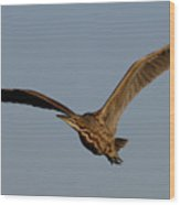 An American Bittern Comes Flying In. Wood Print