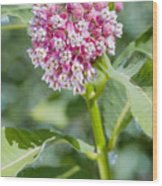 Asclepias Flower Wood Print