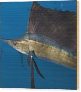 Atlantic Sailfish Istiophorus Albicans Wood Print