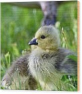 Baby Goose Chick Wood Print