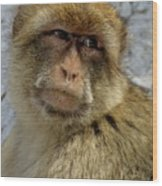 Barbary Macaque Looking Away In Annoyance Wood Print