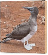 Blue-footed Booby Wood Print