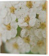 Bridal Veil Spirea Wood Print