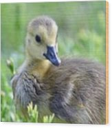 Canadian Goose Chick Wood Print