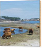 Cattle Scottish Highlanders, Zuid Kennemerland, Netherlands Wood Print