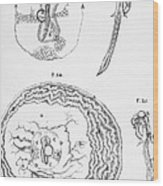 Chick Embryology, Malpighi, 1687 Wood Print