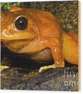 Chilean Tomato Frog Wood Print