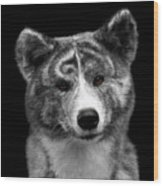 Closeup Portrait Of Akita Inu Dog On Isolated Black Background Wood Print