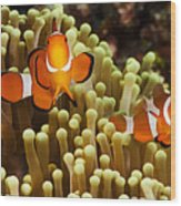 Clown Anemonefish Wood Print