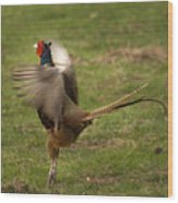 Crowing Pheasant Wood Print