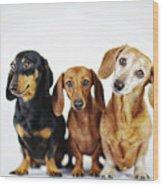 Dachshund Pack  Wood Print