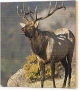 Early Morning Bull Elk Wood Print