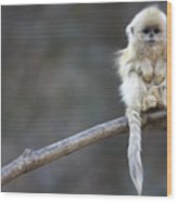 Golden Snub-nosed Monkey Rhinopithecus Wood Print