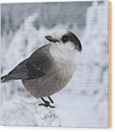 Gray Jay - White Mountains New Hampshire Usa Wood Print by Erin Paul Donovan