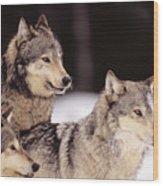 Gray Wolves Wood Print