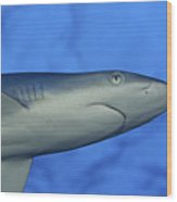Grey Reef Shark Wood Print