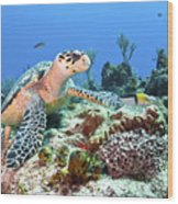 Hawksbill Turtle Feeding On Sponge Wood Print by Karen Doody