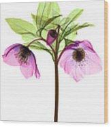 Hellebore Flowers, X-ray Wood Print