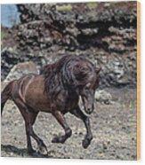 Icelandic Black Stallion, Iceland Wood Print