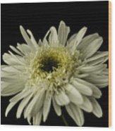 Leucanthemum Highland White Dream Wood Print