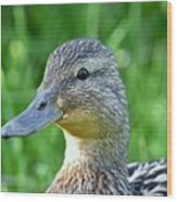 Mallard Duck Hen Wood Print