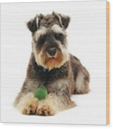 Miniature Schnauzer Wood Print by Jane Burton