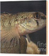 Mobile Logperch Percina Kathae Wood Print