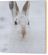 Mountain Hare In The Snow - Lepus Timidus  #3 Wood Print