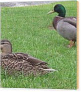 New Zealand - Pair Of Mallard Duck Wood Print